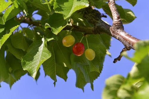 U vrtu su dostupne razne sezonske voćke